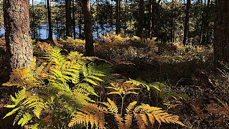 Gula, gröna och orangea ormbunkar i skogsmiljö med en sjö bakom tallarna.