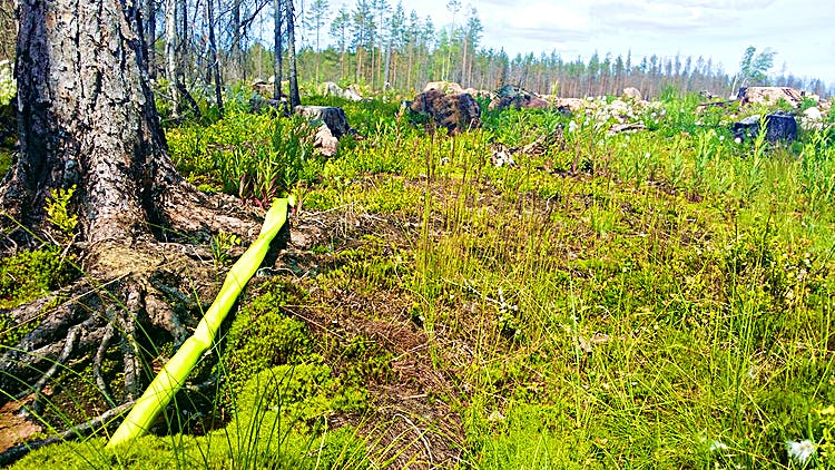 En bransslang ligger kvar i naturen. Brända rötter möter grönskande mark.