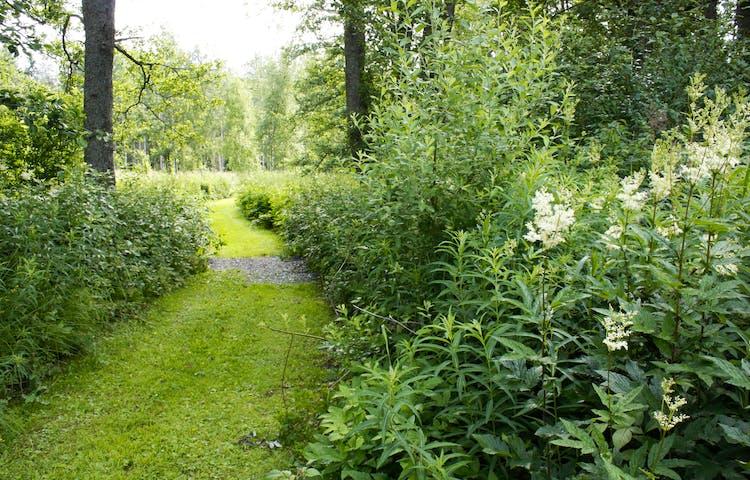 En bred stig med gräsmatta kantas av höga örter.