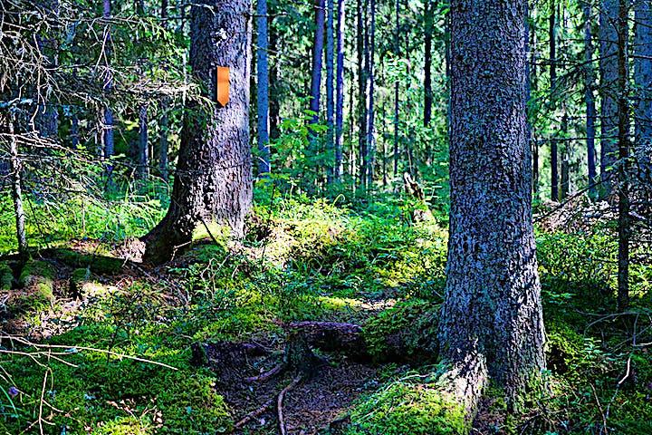 Stig genom granskog, orange ledmarkering i form av en pil.