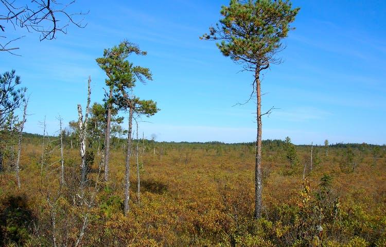 Vidsträckt myrmark med tunna träd utspridda över platsen.