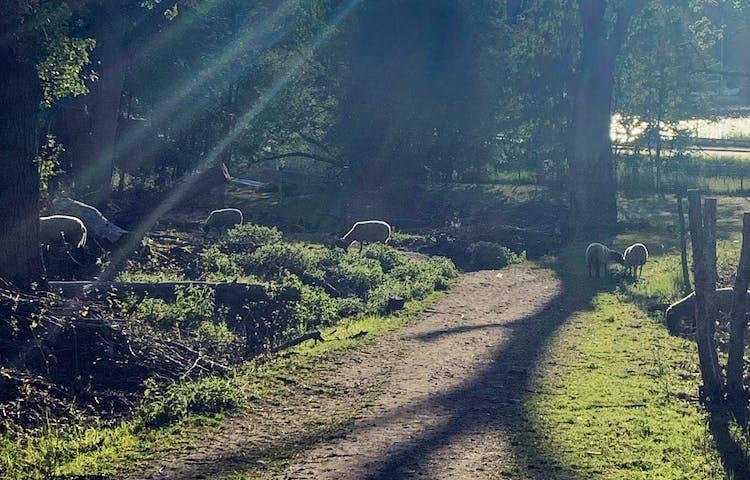 Fåren hjälper till att hålla Kärsöns landskap öppet. Foto: Lena Malmström