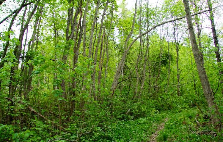 Skogen är lummig längs stigen.