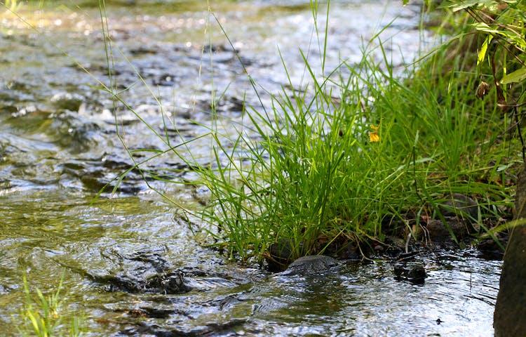 Närbild på en grästuva och vattnet i ån.