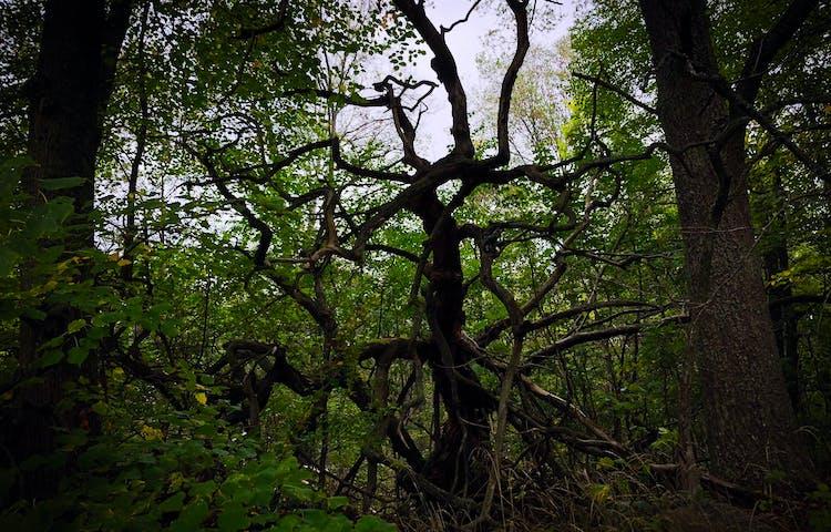 En gammal död lind med grenar som sträcker sig likt armar.