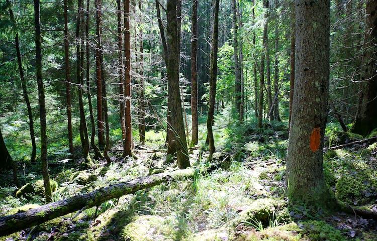 Liten skogsglänta längs stigen i naturreservatet.