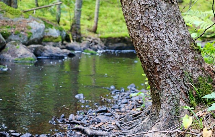 Ett träd intill bäcken.