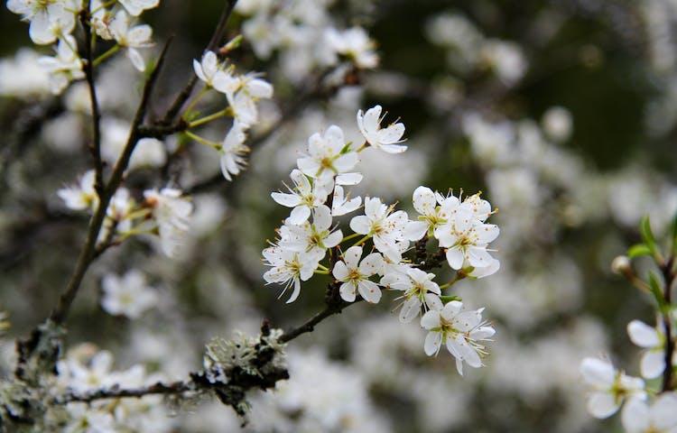 Vitblommande fruktträd.