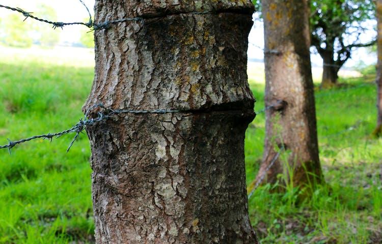 Taggtråd dragen runt träd.