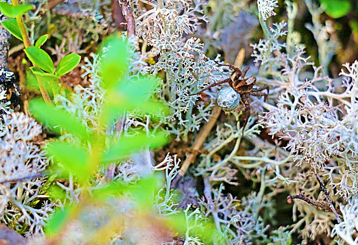 En spindel i mossan.