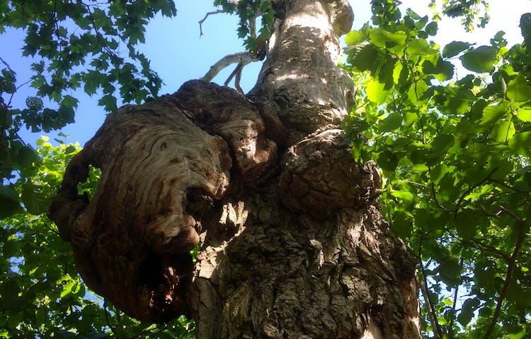 Knotigt gammalt träd