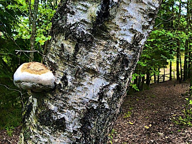 Björkstam med växande svamp på barken, i bakgrunden en grind som leder in på en betesmark.