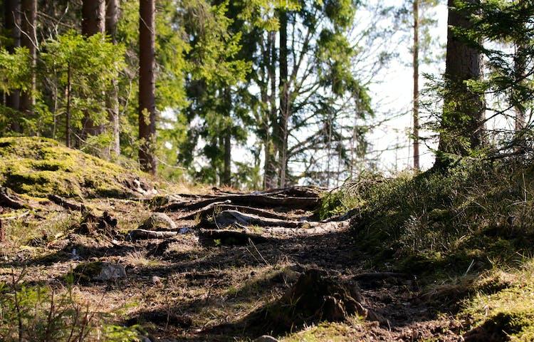 Stig i uppförsbacke över slingrande rötter och stenar.
