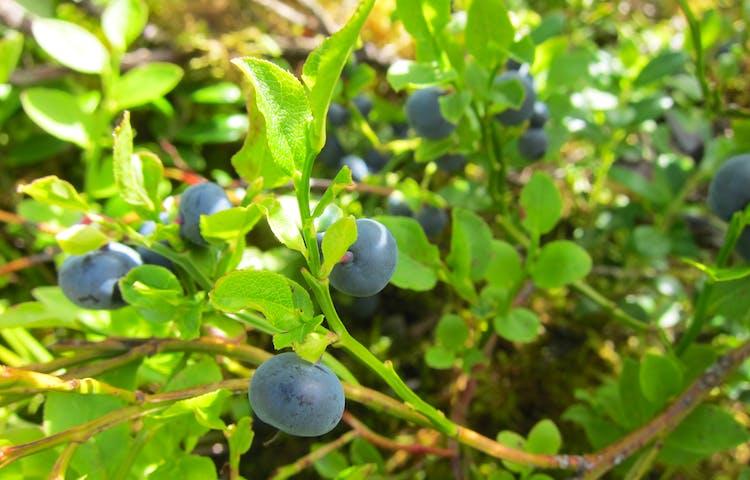 Blåbär på blåbärsris.