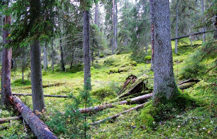 Urskog med mossrik, något stenig och kuperad mark. På marken ligger flera omkullfallna träd.