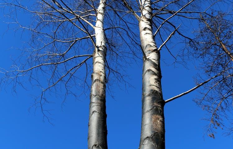 Björkar svedda av elden mot en blå himmel.