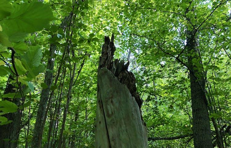 En död trädstam med lummigt gröna löv runt omkring.