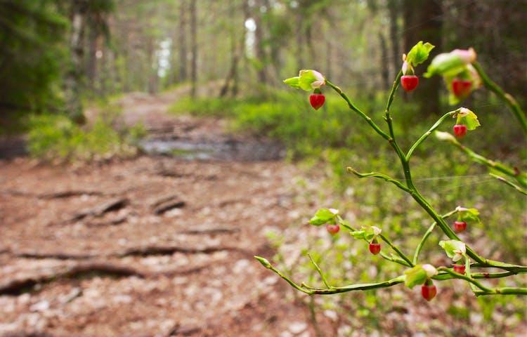 En ojämn och kuperad skogsstig med många stora rötter tvärs över stigen. I förgrunden växer blåbärsris med röda klockformade blommor på.