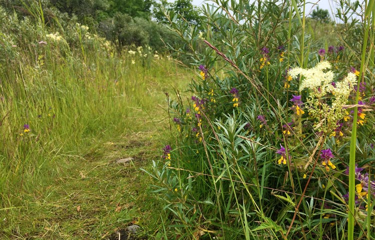 En smal och något ojämn stig går genom en äng. Det är högt gräs och många blommor på båda sidorna av stigen.