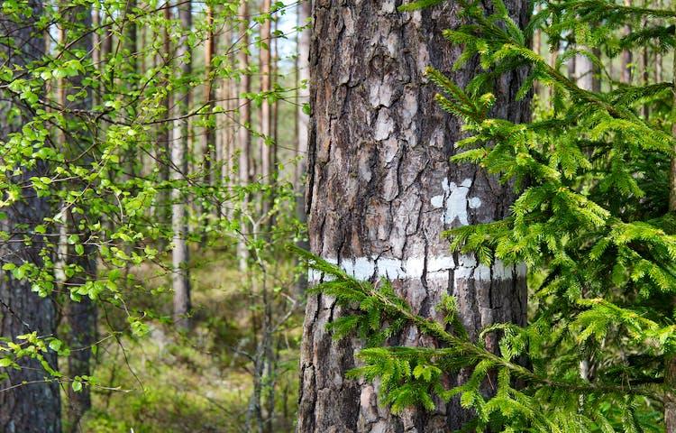 Träd med gränsmarkering till naturreservatet.