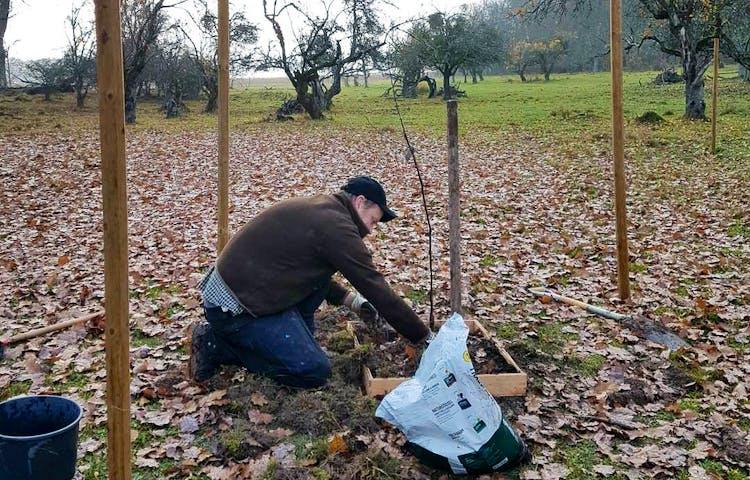 Ett äppelträd planteras i ett höstigt landskap på Aggarön av förvaltare Tim.