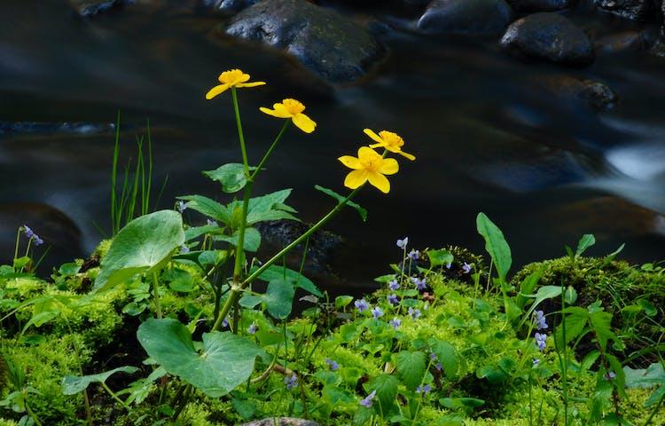 Den gula blomman, kabbeleka, är vanlig längs ån under våren. Den trivs i fuktiga miljöer.