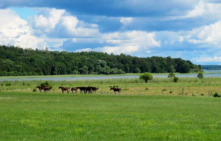 Hästar på Ådö-Lagnös strandängar. Foto: Lena Malmström