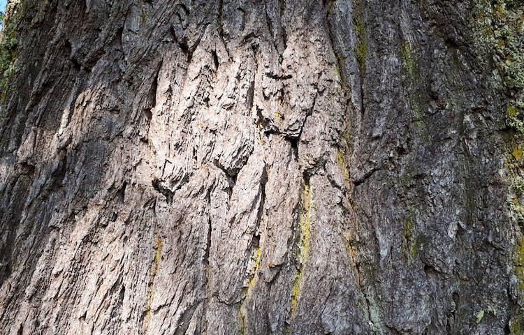 Närbild på barken på en ek.