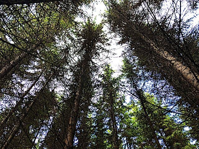 Höga barrträd med himmel.