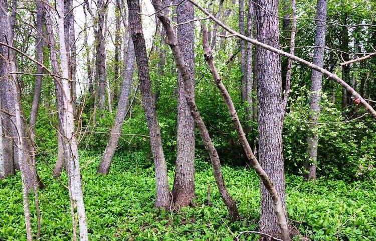 Trädstammar i grönska.