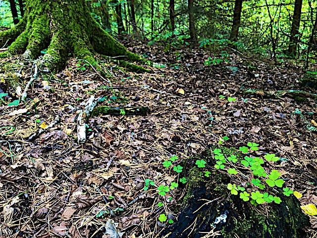 Trädstam och stubbe med grön mossa och klart grön harsyra växande uppe på.