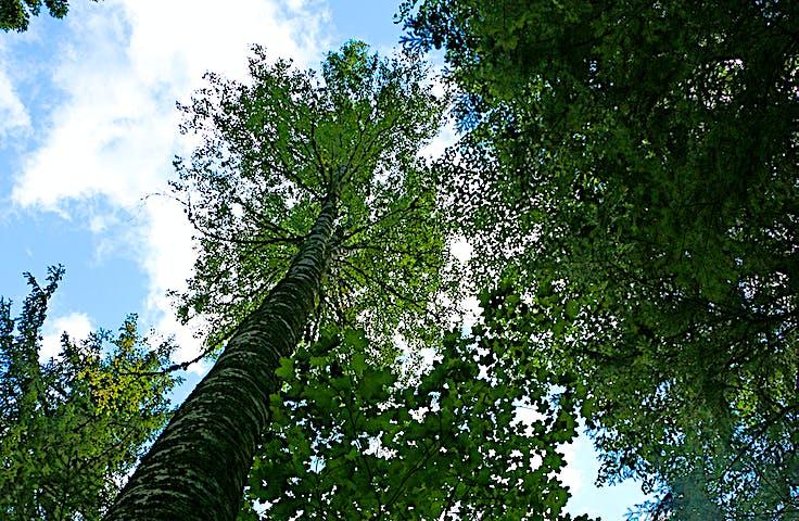 Trädtoppar och himmel.