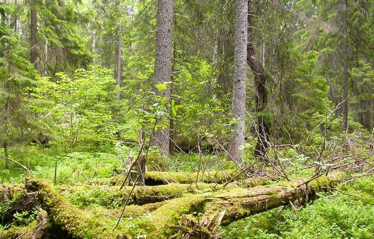 Tät, gammal skog med flera döda och mosstäckta liggande trädstammar.