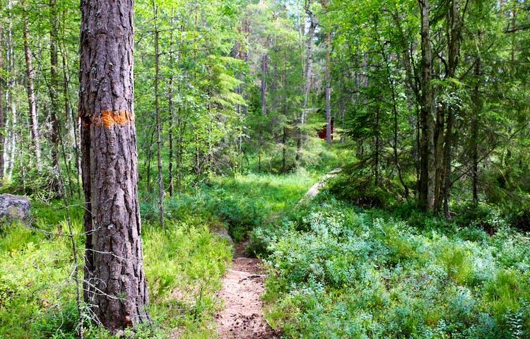 Ett träd med orangemarkering intill en stig, längre bort skymtas en spång.