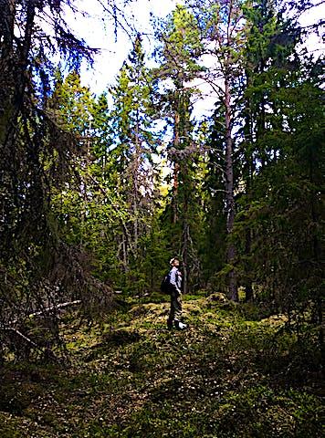 Bland stora träd i Tullviksbäckens naturreservat. Foto: Länsstyrelsen Stockholm