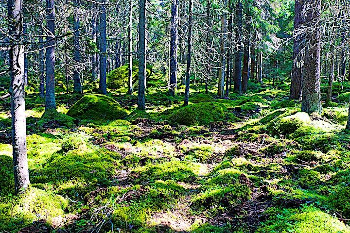 Leden genom ett landskap med mossa och granar. På marken syns spår av vildsvin som bökat.