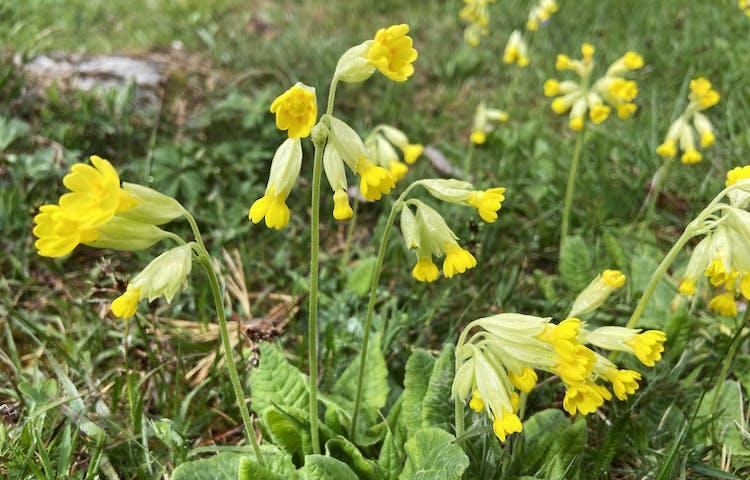 Närbild på gullvivor med många gula blommor och gröna blad