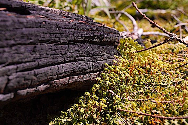Bränd trädstam möter grönskande mossa.