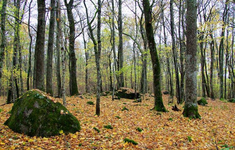Höstlöv på marken i gles skog.