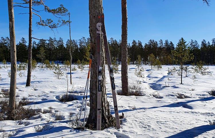 Ett par grå skidor och orangea stavar står lutade mot en tallstam.