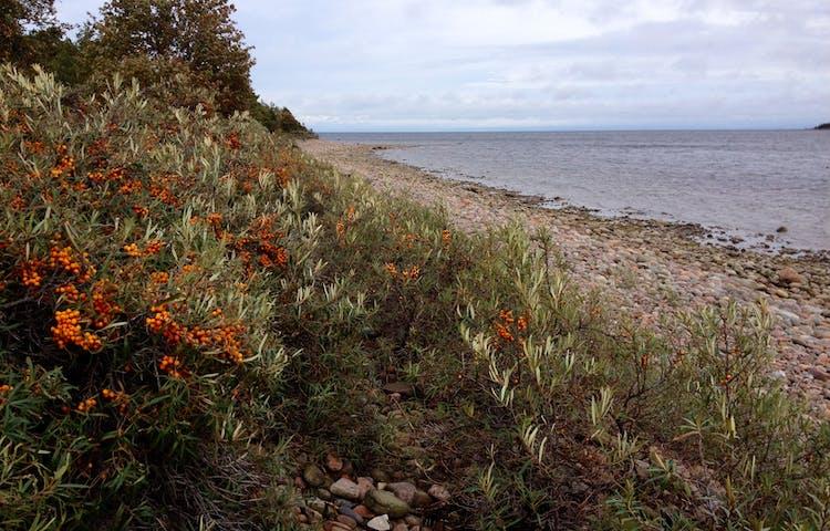 Närbild på buskar med mängder av orange bär. Buskarna står på en stenig strand vid havet.