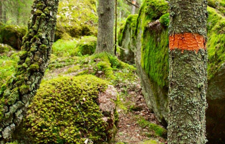 En orange markering på en trädstam i skogen. Terrängen är stenig och ojämn,