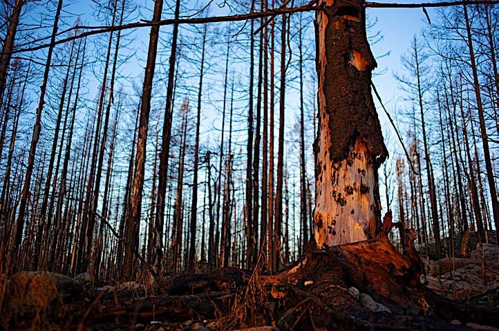 Träd märkta av branden. Barken har släppt och visar en till viss del naken trädstam.