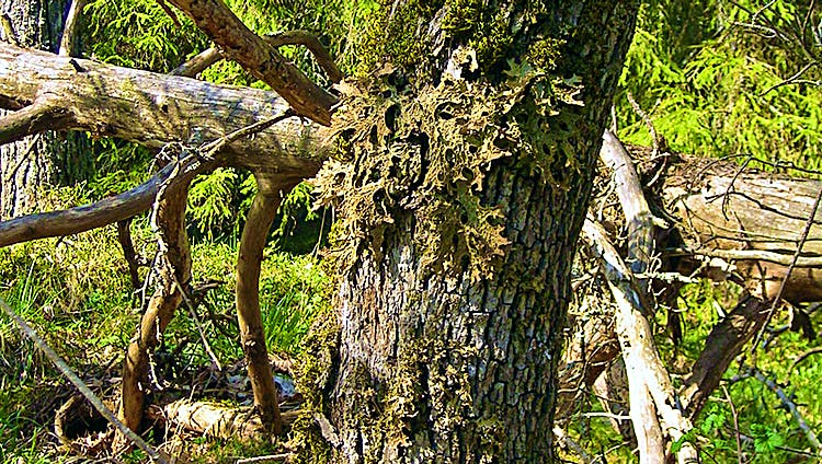Lunglav på ek i Häverö-Bergby naturreservat. Foto: Länsstyrelsen Stockholm.