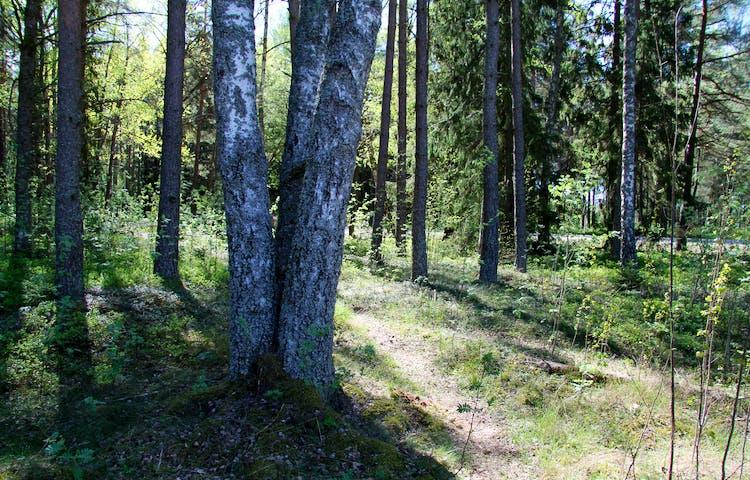 Tre björkar som växt ihop nere vid stammen.