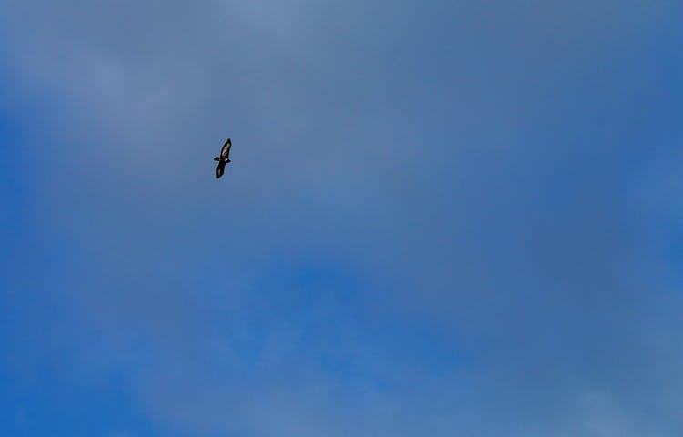 En ormvråk flyger högt.