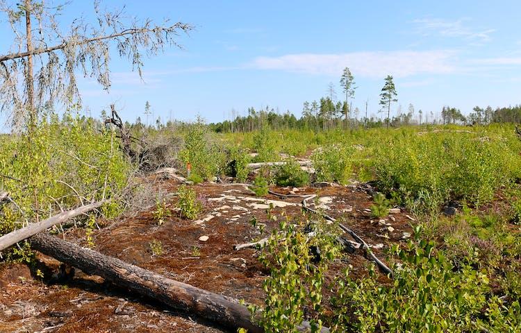 Brandslang på mossig berghäll. En knähög stolpe med orange topp bland midjehög grön björksly.