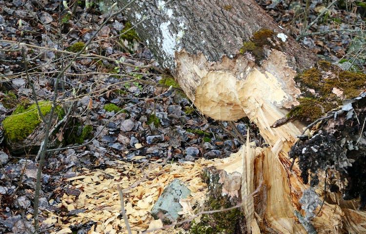 Träd avgnagt av bäver.