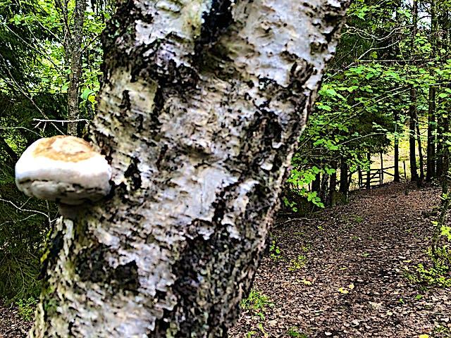 En björkstamm med en svamp växande på.