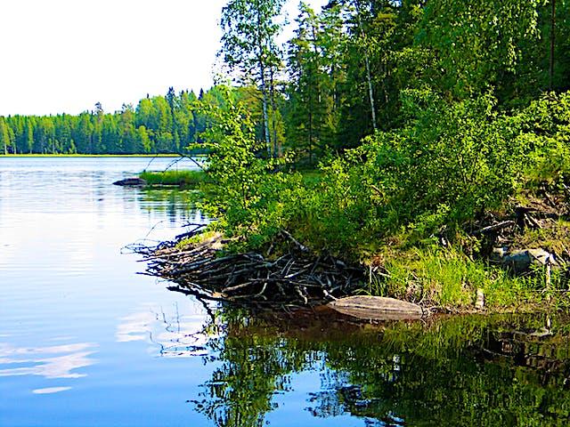 Vatten möter land. Skogen växer längs kanten och rötter går ut i vattnet.